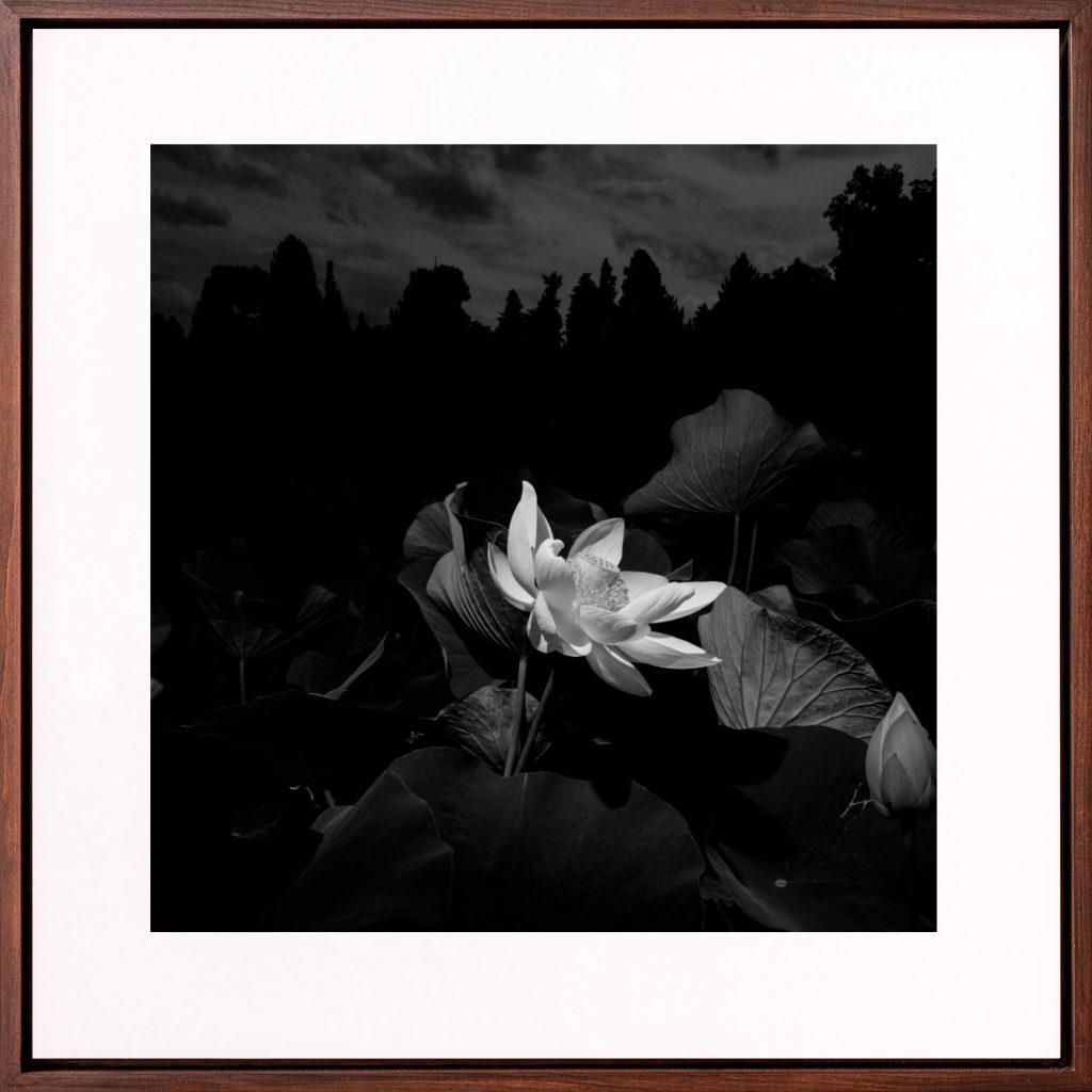 An American Lotus flower in B&W II